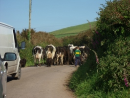 cows crossing the road blocking the traffic, dingle, kerry countryside