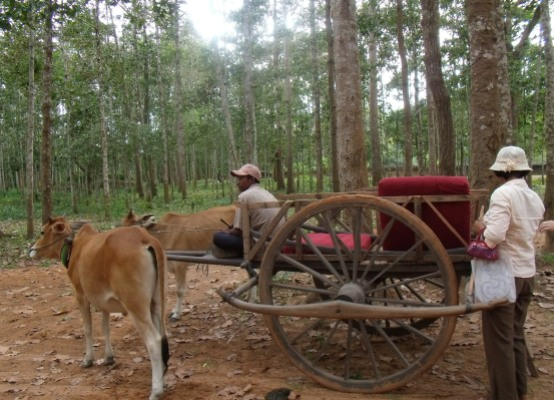 Travelling by the sacred cow in Cambodian village