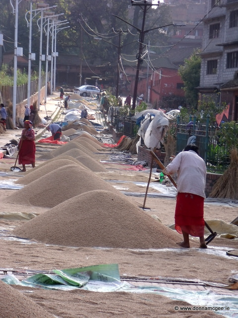 The Rice Harvest Bhaktapur